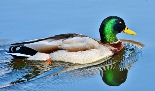 Duck 3648416 640