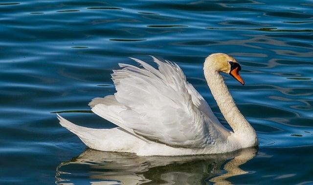 Swan 3376622 640